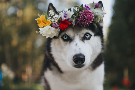 A husky sports her best festival looks with a flower crown.